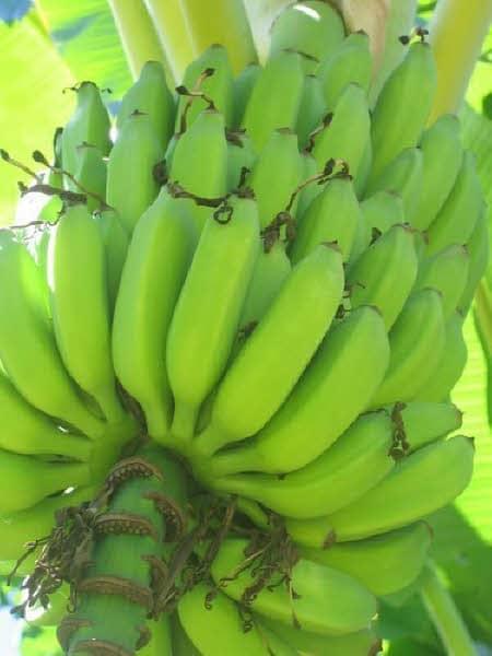 Les bananes de Madagascar